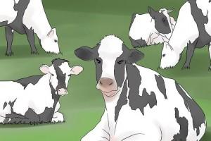 养殖创业规模化牛场奶牛产后疾病的减少方法