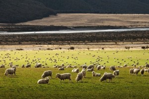 新西兰全产业链造品质草饲羊奶粉,倍恩喜厚积薄发全力抢跑!
